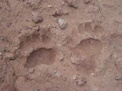 Bear Track Courtesy of iStockPhoto.com